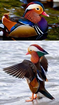 Mandarin Duck the most beautiful duck in the world Animals And Pets, Baby Animals, Funny Animals, Cute Animals, Canard Mandarin, Mandarin Duck, Colorful Animals, Colorful Birds, Beautiful Birds