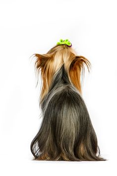 November 2014 - Ihr Name ist Dream Girl - Yorkshire Terrier 2014 © Barbara O & # . Perros Yorkshire Terrier, Yorkshire Terrier Haircut, Best Pet Dogs, Yorshire Terrier, Puppy Drawing, Yorky, Teacup Yorkie, Yorkie Dogs, Happy Puppy