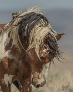 Picasso Possibly the most famous wild mustang - and mane - in the Americas Sand Wash Basin, Colorado Most Beautiful Horses, All The Pretty Horses, Animals Beautiful, Cute Horse Pictures, Horse Photos, Beautiful Horse Pictures, Cute Horses, Horse Love, Horse Wallpaper