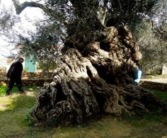 The ancient olive tree of Vouves (Chania/Crete). It is one of seven olive trees in the Mediterranean believed to be at least 2,000 to 3,000 years old!