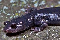 Santa Cruz Black Salamander -  Aneides flavipunctatus niger