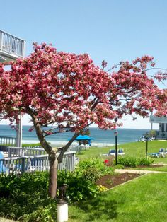Spring IS just around the corner, really it is. I love this apple tree in bloom, a sure sign of spring around Ogunquit.  www.beachmereinn.com