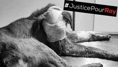 Pétition : Justice pour Ray et tous les animaux maltraités au Maroc !