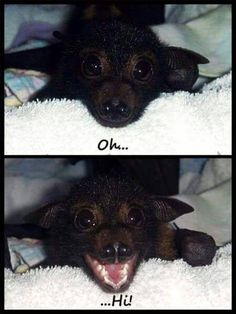 Oh Hi there little bat! I guess it's that time of night again. It's time for me to get all comfy and ready for bed like this little bat here. So have a goodnight Dragons and get yourself all cozy just like this little bat . Cute Creatures, Beautiful Creatures, Animals Beautiful, Cute Funny Animals, Cute Baby Animals, Nature Animals, Animals And Pets, Cute Bat, Cute Baby Bats