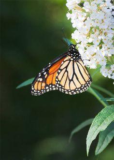 monarch butterfly 2 (11764)