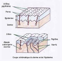 traces papillaires derme coupe empreinte