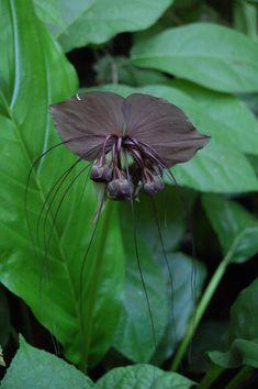 Tacca chantreri - Black bat flower - Apocynaceae