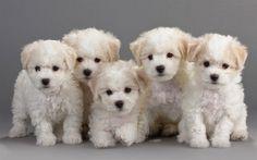 Indir duvar kağıdı Bichon Frise, Yavruları, küçük köpekler, sevimli hayvanlar, beyaz köpek yavruları, Fransız köpek