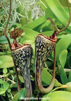 Nepenthes vogelii ¶¶ #toutoblog.unblog.fr aime ☺ Colorful Plants, Unusual Plants, Rare Plants, Exotic Plants, Tropical Plants, Bog Plants, Orchid Plants, Growing Plants, Unusual Flowers