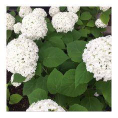 #Hortensia #white
