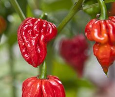 trinidad scorpian very hot pepper 20 quality seeds garden viable pack Types Of Peppers, Chilli Plant, Growing Peppers, Partial Shade Plants, Artisan Food, Home Garden Plants, Exotic Fruit, Stuffed Hot Peppers, Fruit Trees