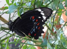 Orchard Swallowtail newly emerged from cocoon on Finger Lime. Conservation, Wildlife, Environment, Plants, Finger, Lime, Gardens, Limes, Fingers