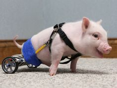 Seriously, the cutest thing ever...this little paralyzed piggy gets a wheelchair