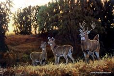 Wildlife Artist Bruce Miller Whitetail Deer Art Print TWILIGHT DEER | WildlifePrints.com