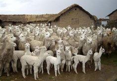 Llamas peruanas