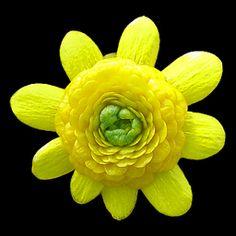 Ranunculus ficaria 'Collarette'