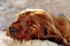 Irish Setter Pup ~ Classic Look Beautiful Dog Breeds, Beautiful Dogs, Animals Beautiful, Baby Puppies, Dogs And Puppies, Doggies, I Love Dogs, Cute Dogs, Adorable Puppies