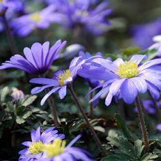 Blanda Blue Meadow Anemone | Order Anemone Bulbs online | Bulbs Direct Blue Poppy, Great Cuts, Latest Colour, Spring Garden, Cut Flowers, Bulbs, Poppies, Bloom, Plants