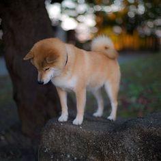 shiba dog my love #dog #animal #shiba #inu