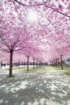 INTERNATIONAL CHERRY BLOSSOM FESTIVAL; Macon, GA (March 17–April 3) - Forget elbowing through the crowds in Washington, DC. The few thousand Yoshino cherry trees in the country's capital will feel measly compared with the 350,000 trees in Macon, where you'll have plenty of space (and time) to take gorgeous photos.