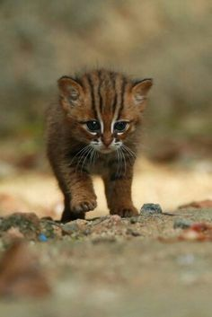 An abandoned juvenile rusty spotted cat in Horogolla. On its face are eight prominent black bands radiating from the centre (Photography Mendis Wickramasinghe) Rare Animals, Jungle Animals, Cute Baby Animals, Animals And Pets, Funny Animals, Kittens Cutest, Cats And Kittens, Big Cats, Beautiful Cats