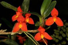 Maxillaria sophronitis - Flickr - Photo Sharing!