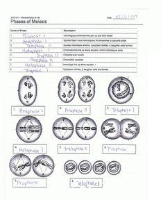 Meiosis stages worksheet iin resim sonucu biyoloji pinterest resultado de imagen de meiosis stages worksheet ccuart Gallery