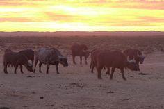 Buffalos meeting sunset