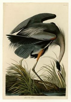 At the age of 35, John James Audubon embarked upon a mission to paint every bird in North America. In 1838, that project saw completion. Working with British engravers, Audubon transformed his watercolor and pastel works into what is now known as Birds of America. A total of 87 sets of five prints - making a total of 435 plates - were released between 1827 and 1838. By 1839, Audubon, along with the ornithologist William MacGillivray, published an accompanying text under the title ...