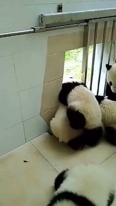 #happy #nice #cute #funny #animals #adorable #panda Niedlicher Panda, Panda Gif, Panda Funny, Cute Panda, Panda Video, Cute Little Animals, Cute Funny Animals, Cute Dogs, Beautiful Creatures