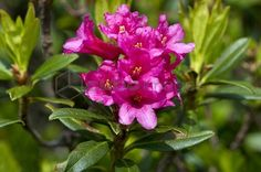 rhododendron ferrugineum flowers, misa mountain, lombardy, italy