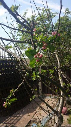Apple tree may 2016