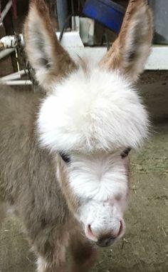 JF Miniature Donkeys