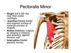 pec minor origin and insertion - Google Search