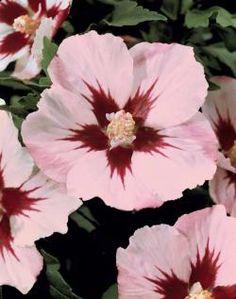 hibiscus.❤ | just flower power | pinterest | hibiscus