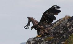 Die Adler kommen nach Irland zurück :)