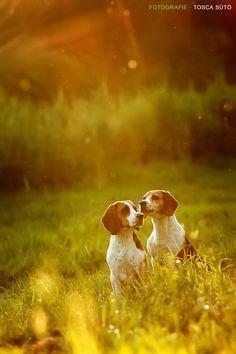 sunbathing beagles