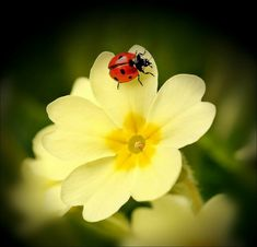 Ladybird on a Primrose. Photo Coccinelle, Yellow Flowers, Beautiful Flowers, Ladybug Art, A Bug's Life, Beautiful Bugs, Tier Fotos, Pictures To Paint, Macro Photography