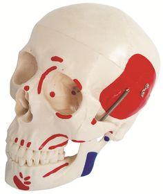 #skull #modell #schädelmodell