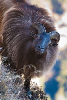 Himalayan Tahr, one of 3 species of large Asian ungulates related to the wild goat Nature Animals, Farm Animals, Animals And Pets, Cute Animals, Strange Animals, Wild Animals, Beautiful Creatures, Animals Beautiful, Majestic Animals