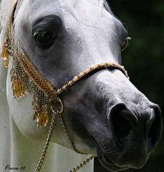 Desert Jewels Gold by Arabian Fancy  photo by Nancy Pierce