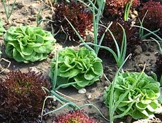 Umweltverträgliche Unkrautbekämpfung im Gemüsebeet und auf anderen Flächen im Garten Cabbage, Vegetables, Html, Food, Gardening, Dyes, Companion Planting, Flower Beds, Compost