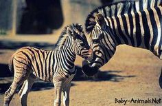Baby animals with their mother photo: Baby & Mother zebrabab.jpg - Mommy & Me - cuccioli foto Zebra Pictures, Baby Pictures, Free Pictures, Baby Photos, Cute Little Baby, Little Babies, Cute Babies, Zebra Wallpaper, Mother Photos