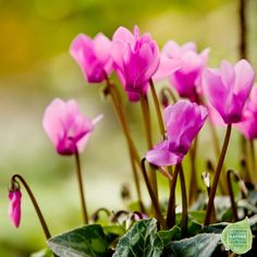Cyclamen plants thrive in cool temperatures, place them close to a bright south-, east-, or west-facing window for maximum sunlight. Water only when the soil is dry and avoid splashing water on their foliage. To keep the plant blooming through the winter, remove the faded flowers and stems as soon as possible. Organic Gardening, Gardening Tips, Indoor Gardening, Homemade Insecticide, Indoor Flowers, Grow Your Own Food, Garden Planning, Herb Garden, Horticulture
