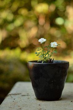 雪姫の画像 by ekko.yさん 極姫バラとバラと和風と花のある暮らしと咲いた!とバラ 鉢植え (2015月8月5日) みどりでつながるGreenSnap
