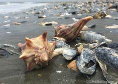 conchas de Carolina del Sur en la playa