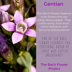 Bach Flower Remedy - GENTIAN Herbal Remedies, Home Remedies, Natural Remedies, Bach Flowers, Homeopathic Medicine, Naturopathy, Healing Herbs, Alternative Health, Medicinal Plants
