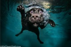 black lab underwater