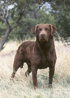 Chesapeake Bay Retriever ~ Developed along the Chesapeake Bay and named the state dog of Maryland, the Chesapeake is a truly American sporting breed and the toughest water retriever. He is a strong, powerfully built medium-sized breed with yellowish or amber eyes and a distinctive coat - a short, harsh, wavy outercoat with a dense fine wooly undercoat. His color can be brown, sedge or deadgrass and must be as close to that of his working surroundings as possible.