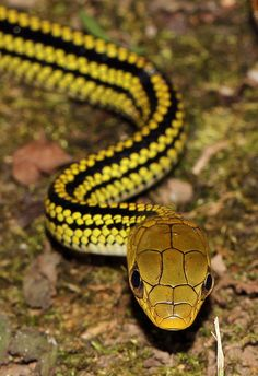 Big-Eyed Ratsnake (Ptyas dhumnades) lσvє ♥ #bluedivagal, bluedivadesigns.wordpress.com